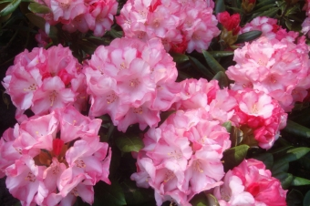 Rhododendron n